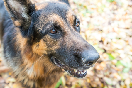 Dog German Shepherd outdoors in an autumn day. Yellow leaves background