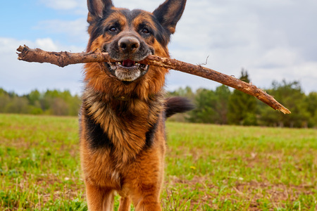Dog German shepherd with a stick outdoors in a summer day Stock Photo