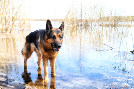Dog German Shepherd in a water outdoors in a sunny day