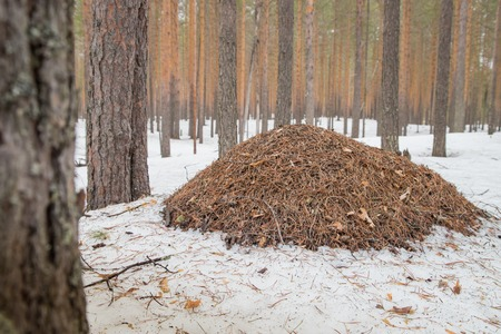 Ant hill in a pine forest in a day of early spring