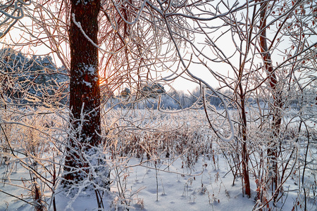 Snow covered branch of trees in a winter forest. White landscape in a cold day