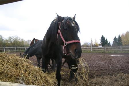 Big horse near a big haystack in a summer day