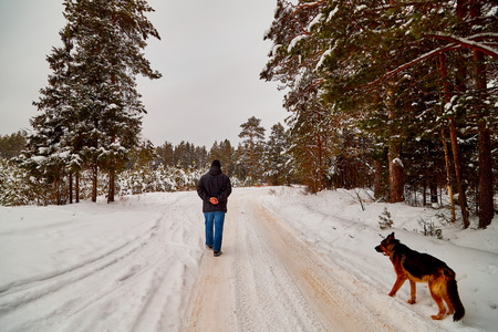 Snow covered trees in a winter forest, road between them and man with dog german shepherd. White landscape in a cold day