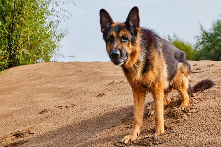 Dog German Shepherd outdoors on sand in a summer day