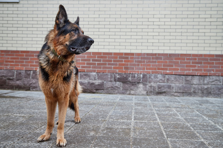 Big dog German Shepherd in a city in a day Stock Photo