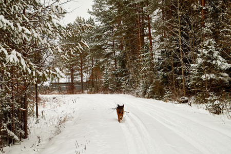 Snow covered trees in a winter forest, road between them and dog german shepherd on it. White landscape in a cold day
