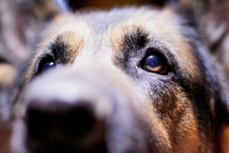 Eyes of a Dog German Shepherd outdoors in an autumn day