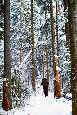 Snow covered trees in a winter forest, small path between them and tourist on it. White landscape in a cold day