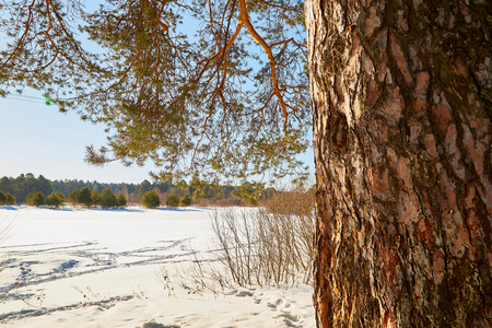Pine trunk in a cold sunny winter day. The background is blurred