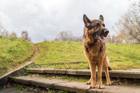 Dog German Shepherd outdoors in an autumn day. Walking in a park or in a forest