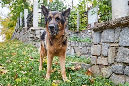 Big dog German Shepherd in a city in a day