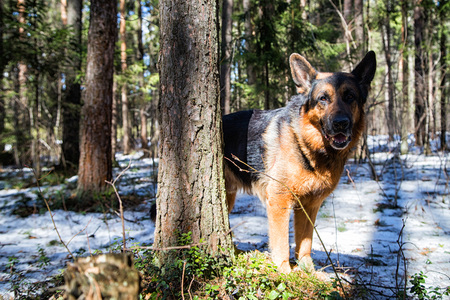 Dog German Shepherd in the forest in a day of an early spring Фото со стока