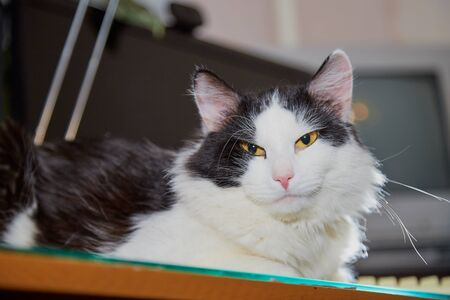Beautiful black and white fluffy cat at home in the dark with backlight. Domestic animal, pet