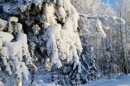 Rama verde de comió en un bosque nevado en un día de invierno. Paisaje blanco en un día frío.