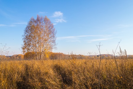 Golden field with grass, birch tree in the background and harvest and deep blue sky in an autumn day Stock Photo