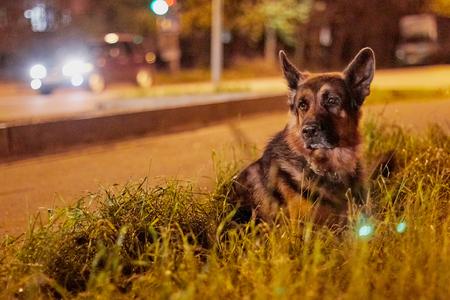 Dog German Shepherd outdoors in a night