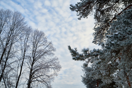 Naked branches of a tree and branches of pine against blue sky with white clouds