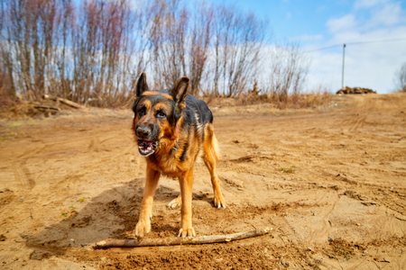 Dog German Shepherd on the sand in a spring day and blue sky with white clouds background Stock Photo