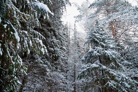 Snow covered trees in a winter forest. White landscape in a cold day. Treetop. Bottom view
