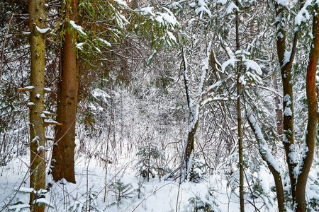 Snow covered trees in a winter forest. Red trunks of pine trees. White landscape in a cold day Imagens