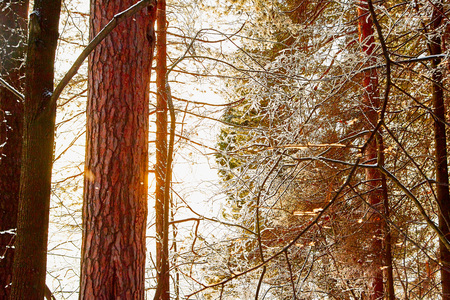 Snow covered trees in a winter forest. Red trunks of pine trees. White landscape in a cold day Stock Photo