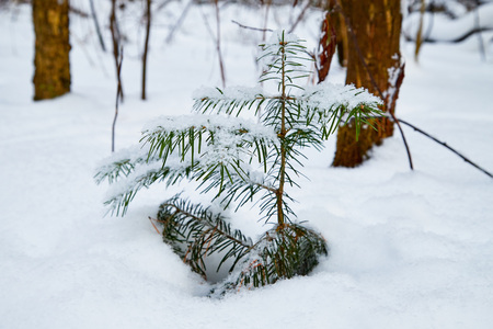 Snow covered small spruce in a winter forest. White landscape in a cold day Stock Photo