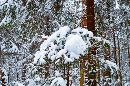 Snow covered small spruce in a winter forest. White landscape in a cold day Imagens