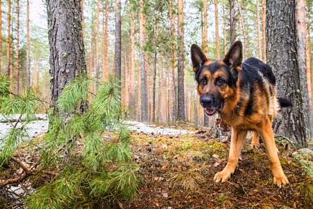 Dog German Shepherd in the forest in a day of an early spring Stock Photo