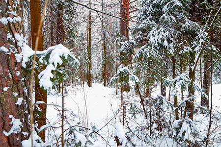 Snow covered trees in a winter forest. White landscape in a cold day Stock Photo