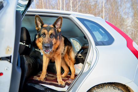 Dog German Shepherd in a car during travel day