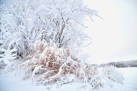 Grass and trees in frost on winter day, morning or evening. Cold weather in Russia Фото со стока