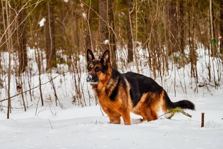 Dog German Shepherd in a winter day and snow arround
