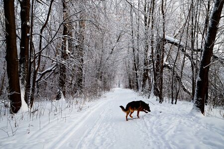 Snow covered trees in a winter forest, small path between them and dog german shepherd on it. White landscape in a cold day