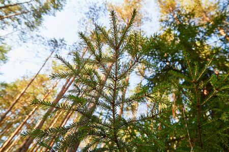 Green spruce tree branch and blurred forest in the background in a summer, sping or autumn day