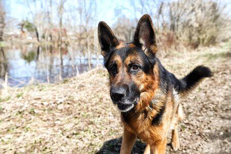 Dog German Shepherd near water in a day of early spring