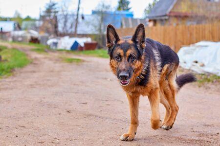 Dog German Shepherd in a village in a summer day