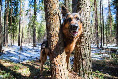 Dog German Shepherd in the forest in a day of an early spring Stock fotó