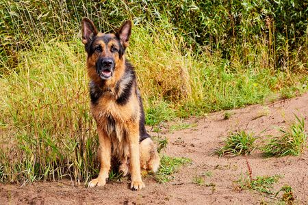 Dog German Shepherd outdoors in a field an autumn day