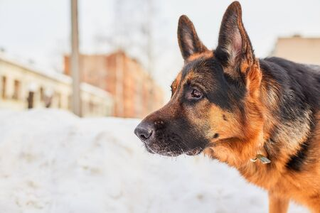 Dog German Shepherd in a city in a winter day