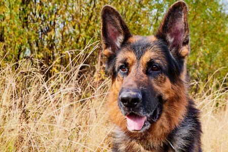 Dog German Shepherd outdoors in a field an autumn day