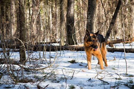 Dog German Shepherd in the forest in a day of an early spring Imagens