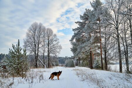 Winter landscape with snowy road with dog german shepherd, trees and blue sky with white clouds in a cold day