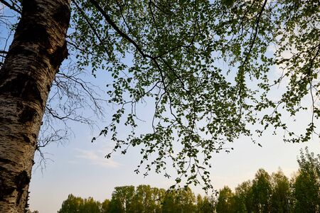 Birch branches at the top of the Park or forest on a spring or summer evening and the sky in the background