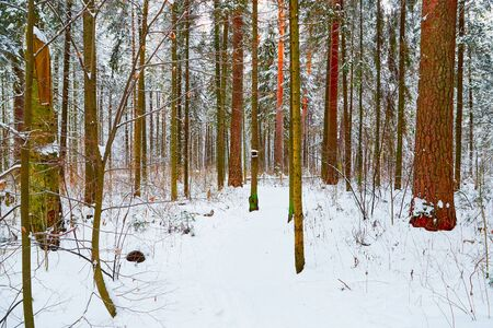 Snow covered winter forest. Tall pine trees. White landscape in a cold day