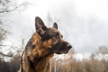 Dog German Shepherd outdoors in an autumn day. Walking in a park or in a forest Stock Photo