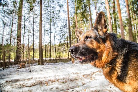 Dog German Shepherd in the forest in a day of an early spring Archivio Fotografico - 132449779