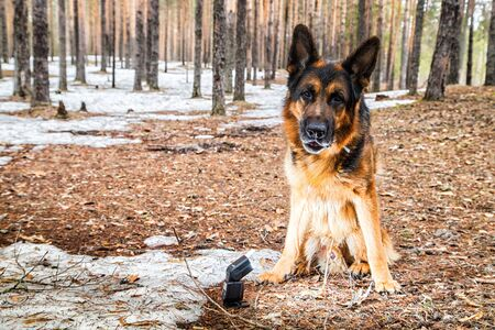 Dog German Shepherd in the forest in a day of an early spring Archivio Fotografico - 132449523