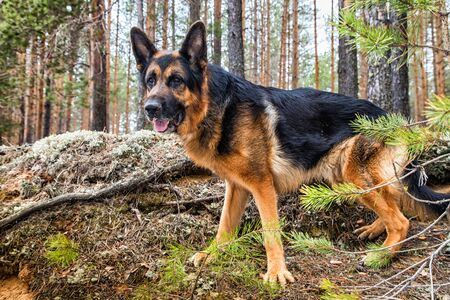 Dog German Shepherd in the forest in a day of an early spring Archivio Fotografico - 132449545