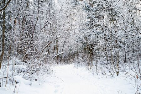 Snow covered trees in a winter forest and small path between them. White landscape in a cold day 版權商用圖片 - 133295414