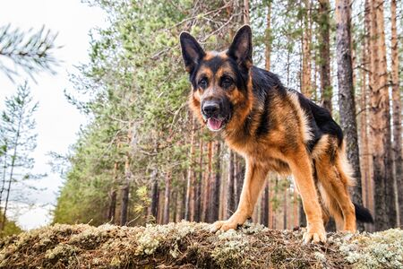 Dog German Shepherd in the forest in a day of an early spring Archivio Fotografico - 132935473
